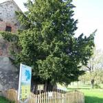 cis w Henrykowie Lubańskim (źródło zdjęcia i więcej informacji: wikipedia.pl)