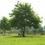 nasze kozy skubią majową trawę