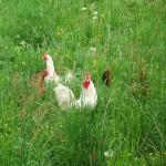 kurczaki desantowe podczas działań operacyjnych