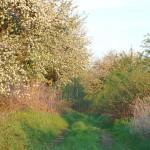 spacer aleją kwitących jabłoni w majowy poranek